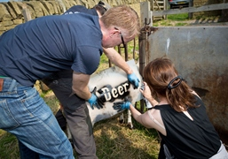 Alison Cooper and Robert Hurst prepare sheep for Write to Roam. Photo Jonty Wilde